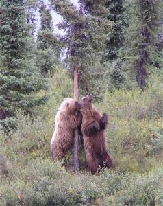scenery 5-Arno Krumm, grizzly cubs, rubbing tree (1)