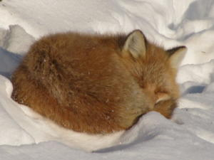 winterSnow Fox09. Should have stayed in bed